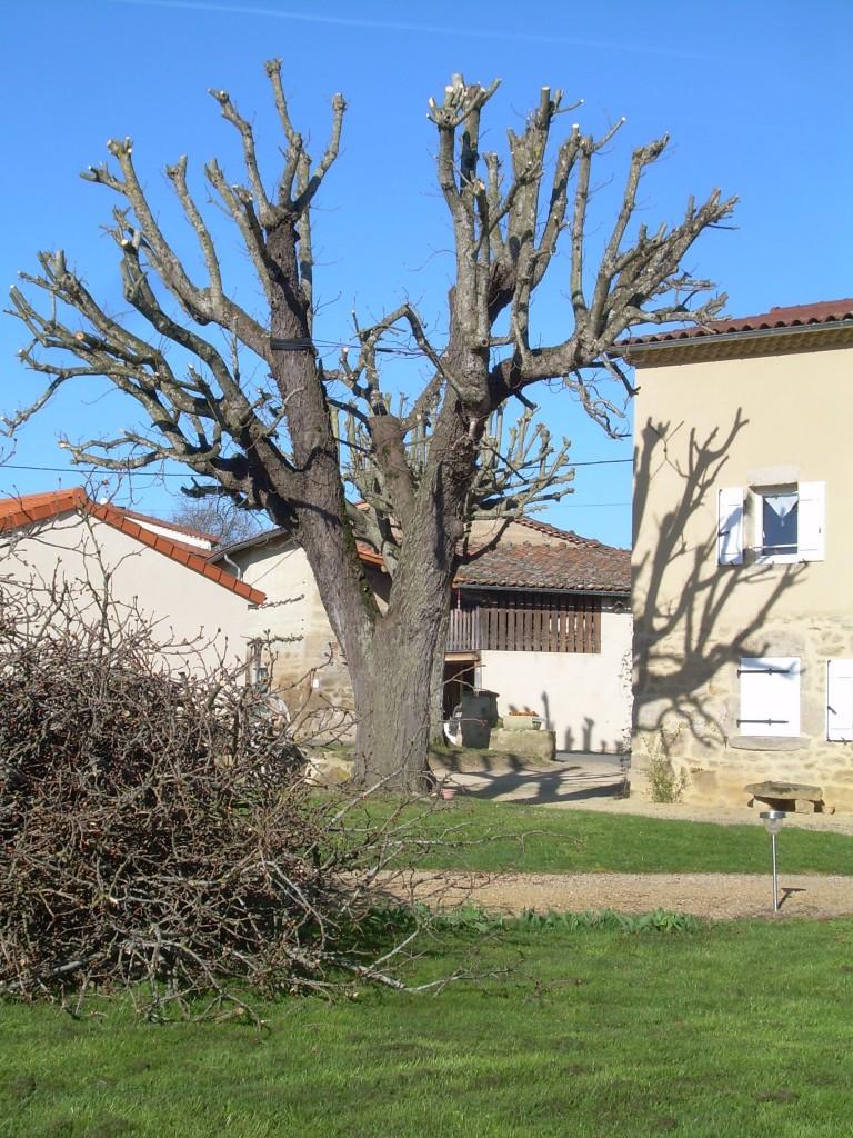 marronnier-taille-2014